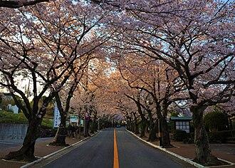 Itō, Shizuoka - Cherry trees street at Izu-kogen