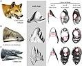 Janjucetus Lobodon Canis teeth.jpg