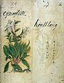 Japanese Herbal, 17th century Wellcome L0030066.jpg