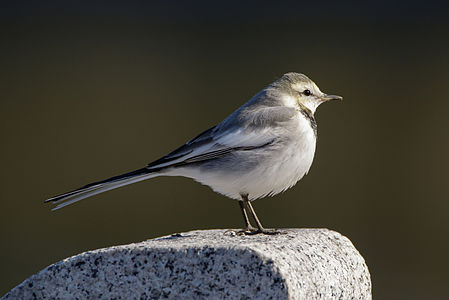 Japanese Pied Wagtail