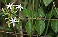 Jasminum auriculatum (Juhi) in Talakona forest, AP W IMG 8325.jpg