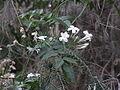Jasminum polyanthum0.jpg