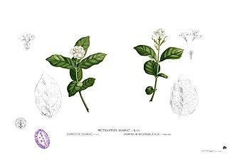 National symbols of the Philippines - Image: Jasminum sambac Blanco 1.6