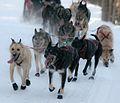 Jeff King's dog team (8530550546).jpg