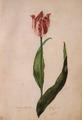 Judith leyster tulip.tif