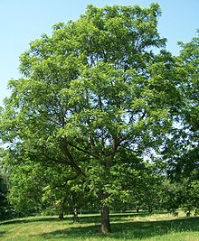Juglans major Morton.jpg