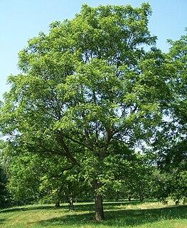 <i>Juglans</i> Genus of trees