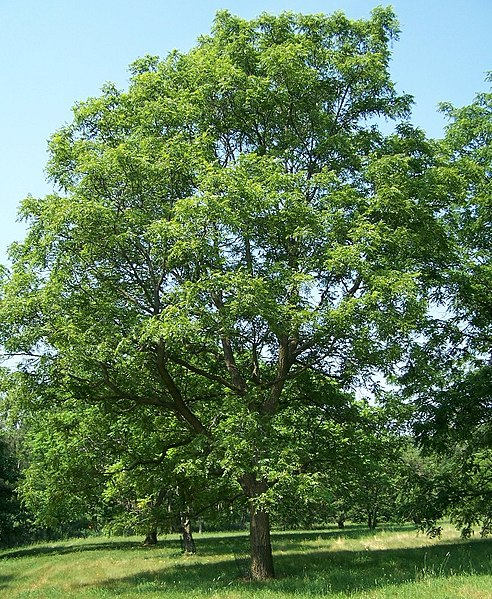 File:Juglans major Morton.jpg