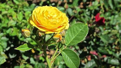 Julia Child Rose.JPG