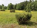 Juniperus communis Simo, Finland 22.06.2013.jpg