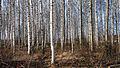 Jyväskylä birches.jpg