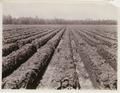 KITLV - 30204 - Kurkdjian, N.V. Photografisch Atelier - Soerabaja - Sugar plantation in East Java - 1921.tif
