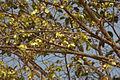 Kanju (Holoptelea integrifolia) in Hyderabad, AP W IMG 4660.jpg