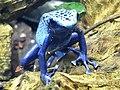 Ke - Dendrobates tinctorius azureus - 6.jpg