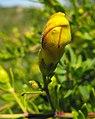 Keckiellaantirrhinoides-bud.jpg