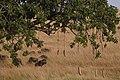 Kigelia africana 02.jpg