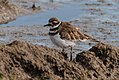 Killdeer (28707549054).jpg