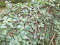 Kim ngân - Lonicera japonica.JPG