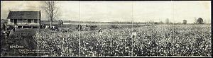 "King Cotton - Panoramic photograph of a cotton plantation from 1907, titled ""King Cotton""."