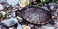 Kinosternon integrum, Mexican Mud Turtle, Tamaulipas.jpg