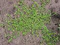 Kleine varkenskers plant Coronopus didymus.jpg