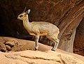 Klipspringer at Honolulu Zoo (4565232428).jpg