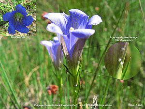 Phengaris alcon - Alcon blue eggs on marsh gentian