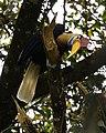 Knobbed Hornbill (Aceros cassidix).jpg