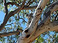 Koala at Amity Point (North Stradbroke Island).jpg