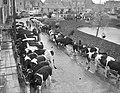 Koeien op veemarkt in Zuidland, Bestanddeelnr 905-5136.jpg