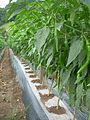 Korean pepper plants.jpg