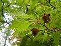 Kornik Arboretum buk zwyczajny odm strzepolistna 2.jpg