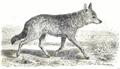 La vita degli animali descrizione generale del regno animale di A. E. Brehm Mammiferi (1872) Canis aureus.png