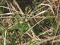 Lacerta viridis05.jpg