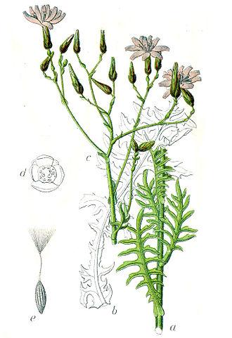 Lactuca perennis - 1796 illustration