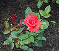 Lady Rose - Kordes 1979.jpg