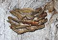 Laetiporus sulphureus 2017 G01.jpg