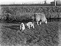 Lammeren en een schaap, Bestanddeelnr 189-0284.jpg