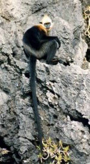White-headed langur - Image: Langur band