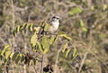 Lanius collurio - Red-backed shrike 02.jpg