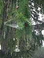 Larch branch with cobwebs - geograph.org.uk - 579414.jpg