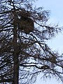 Larch tree with strange growth - geograph.org.uk - 1169225.jpg