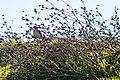 Lark sparrow (25829282614).jpg