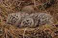 Larus marinus nestlings.jpg