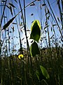 Lathyrus aphaca sl64.jpg