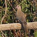Laughing dove (Spilopelia senegalensis cambayensis) 2.jpg