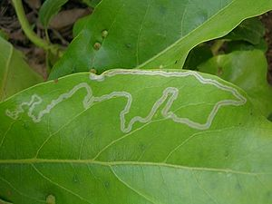 Leaf miners feed on leaf tissue between the ep...