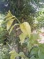 Leaves and trees palavangudi jpg 18.jpg