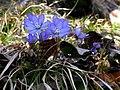 Leberblümchen (Hepatica nobilis).jpg