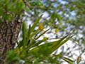 Leopard Orchid (Anselia africana) (11410848373).jpg